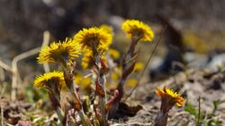 od-essbare-pflanzen-Huflattich_COLOURBOX6746846.jpg
