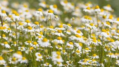 od-essbare-pflanzen-Kamille_COLOURBOX22247139.jpg