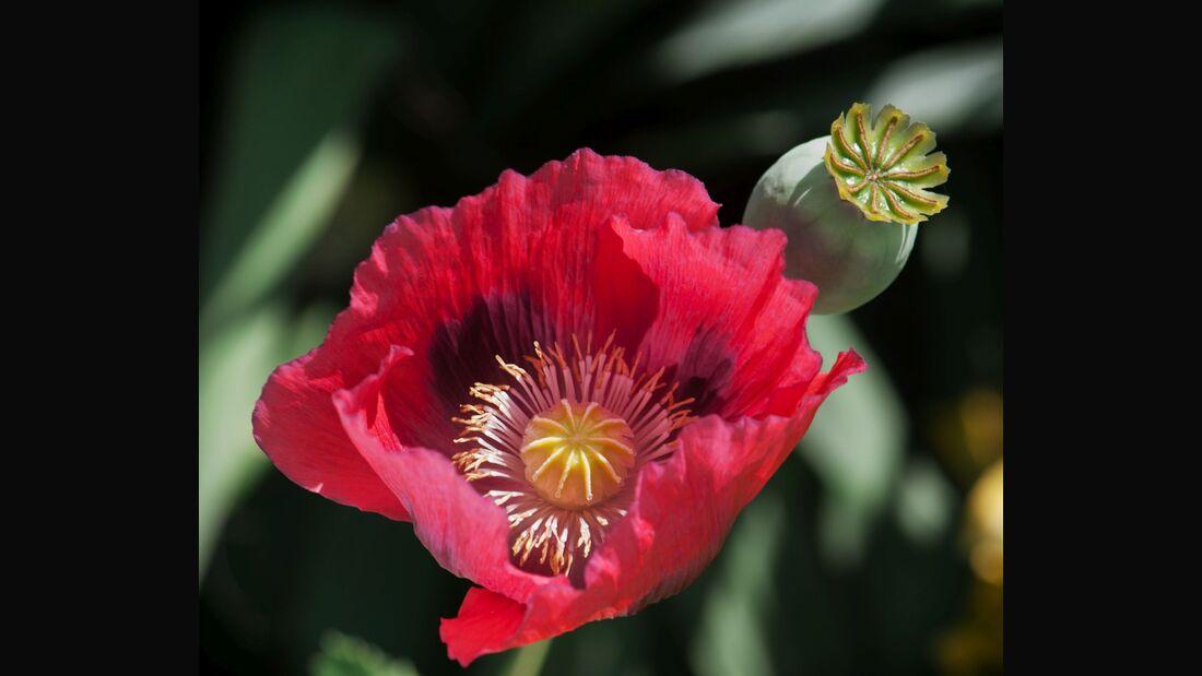 od-essbare-pflanzen-Klatschmohn_COLOURBOX7249550.jpg
