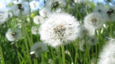 od-essbare-pflanzen-Loewenzahn_COLOURBOX6803148.jpg
