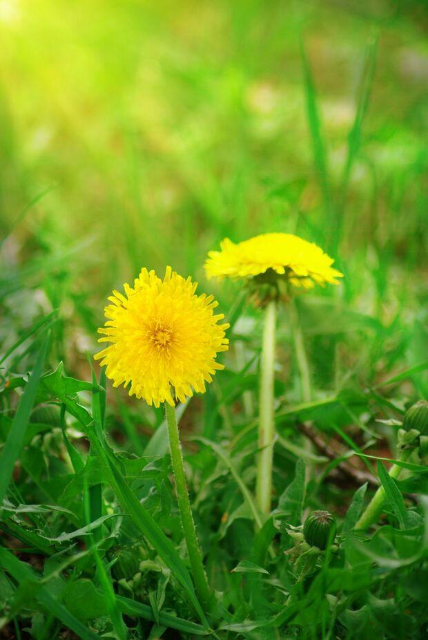 od-essbare-pflanzen-Loewenzahn_COLOURBOX6968864.jpg