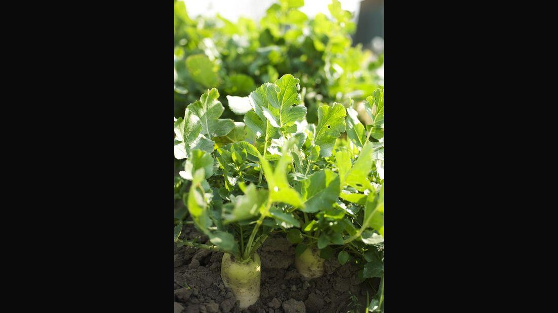 od-essbare-pflanzen-Pastinake_COLOURBOX1618003.jpg