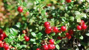 od-essbare-pflanzen-Preiselbeere_COLOURBOX4677563.jpg