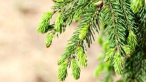 od-essbare-pflanzen-Rotfichte_COLOURBOX10159837.jpg