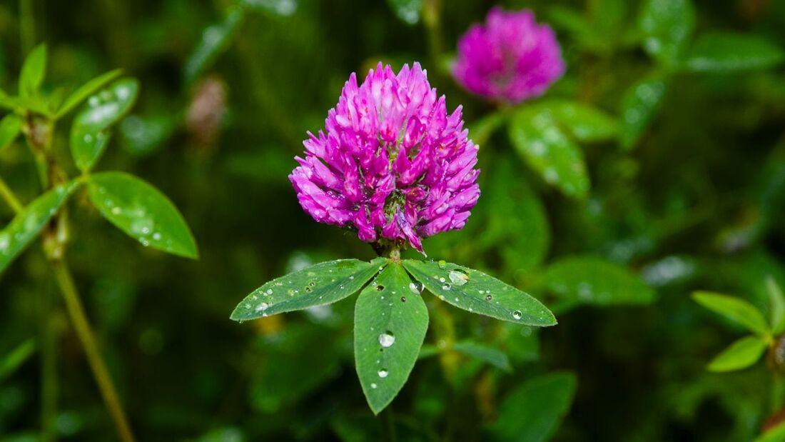 od-essbare-pflanzen-Rotklee_COLOURBOX1560164.jpg