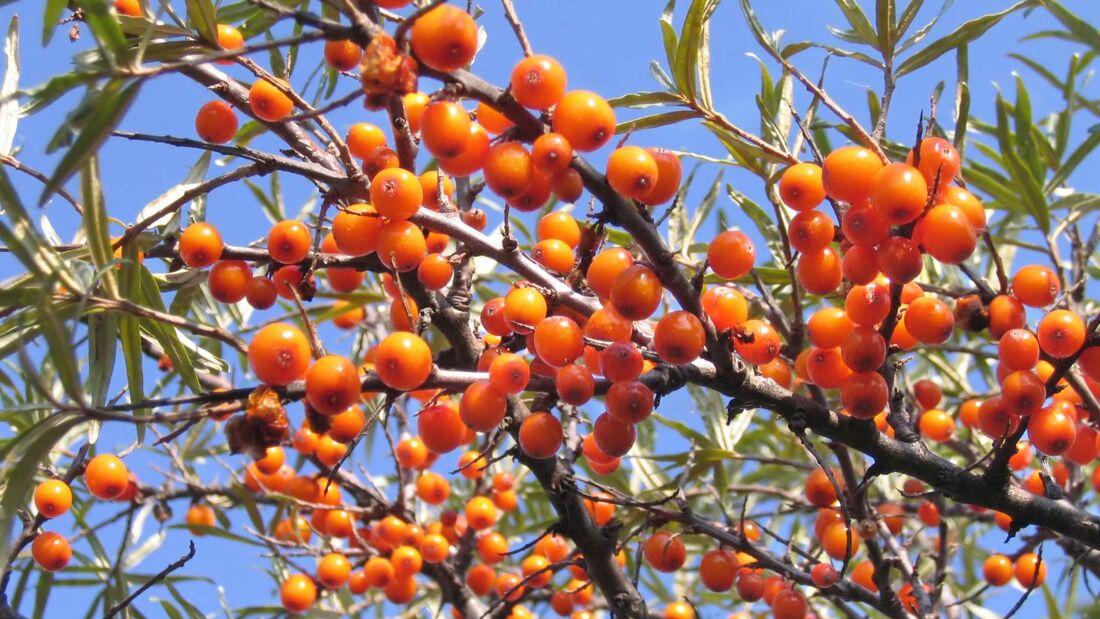 od-essbare-pflanzen-Sanddorn_COLOURBOX3470825.jpg