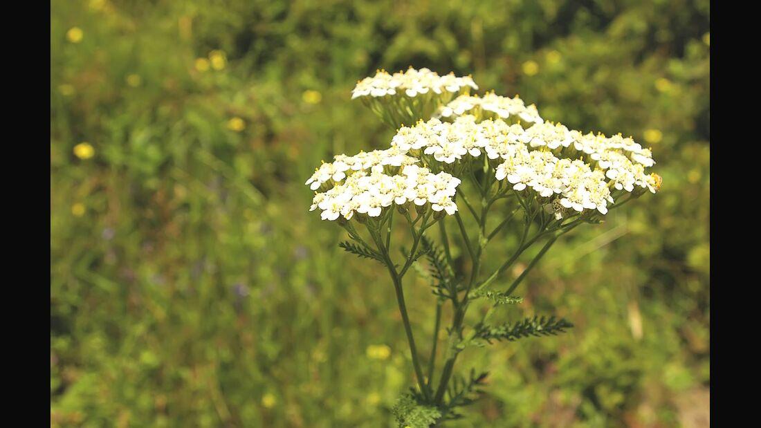 od-essbare-pflanzen-Schafgarbe_COLOURBOX1480723.jpg
