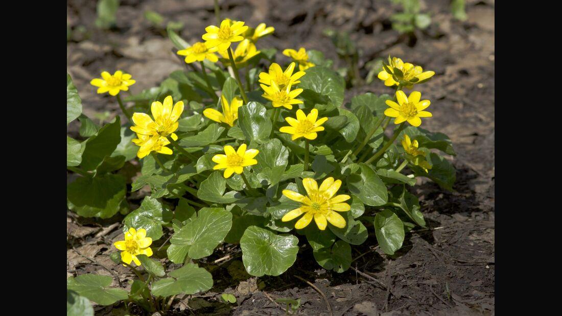 od-essbare-pflanzen-Scharbockskraut_COLOURBOX5817129.jpg