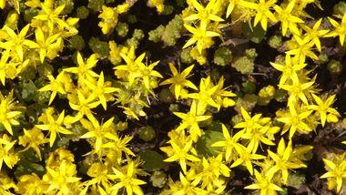 od-essbare-pflanzen-Scharfer_Mauerpfeffer_COLOURBOX2486737.jpg