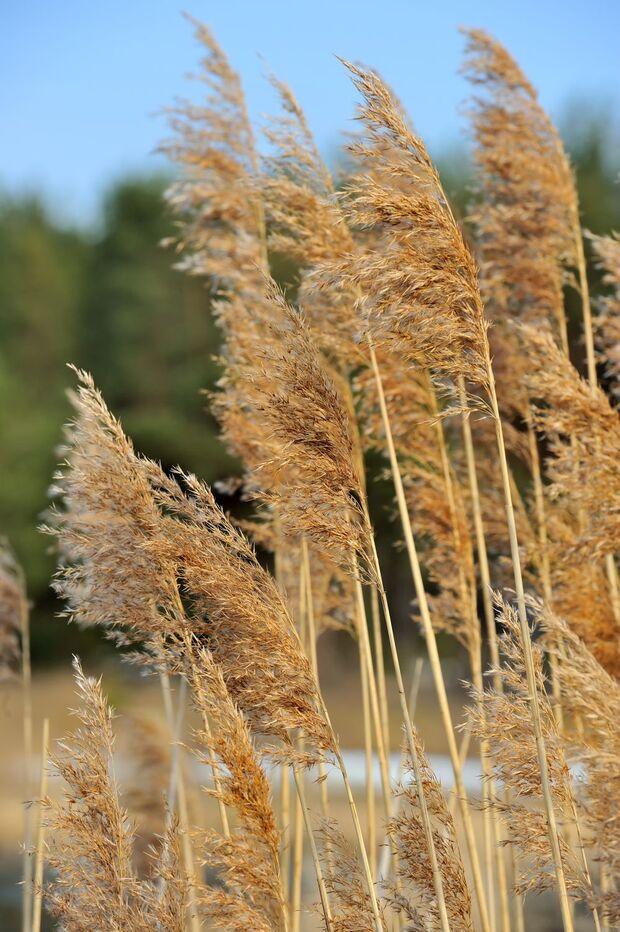 od-essbare-pflanzen-Schilf_COLOURBOX9018232.jpg