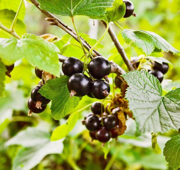 od-essbare-pflanzen-Schwarze_Johannisbeere_COLOURBOX5506912.jpg