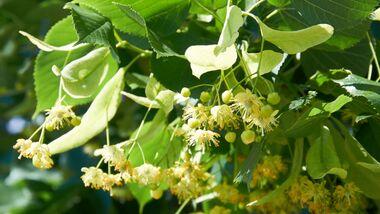 od-essbare-pflanzen-Sommer-Linde_COLOURBOX6991389 (1).jpg
