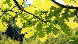 od-essbare-pflanzen-Stiel_Eiche_COLOURBOX1792567.jpg
