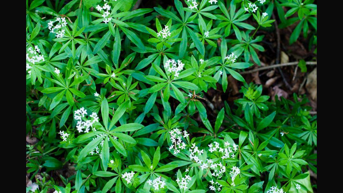 od-essbare-pflanzen-Waldmeister_COLOURBOX4112405.jpg