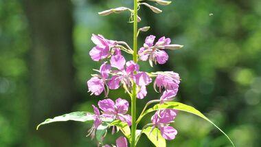 od-essbare-pflanzen-Waldweidenroeschen_COLOURBOX12089826.jpg