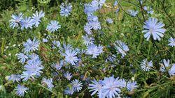 od-essbare-pflanzen-Wegwarte_COLOURBOX10189832.jpg