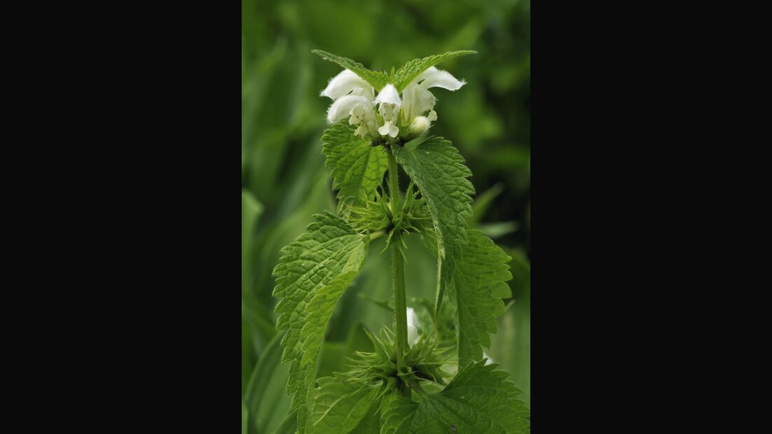 od-essbare-pflanzen-Weisse_Taubnessel_shutterstock_57411460.jpg
