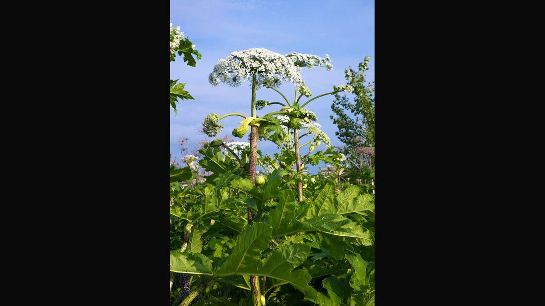 od-essbare-pflanzen-Wiesen-Baerenklau_COLOURBOX17072668 (1).jpg