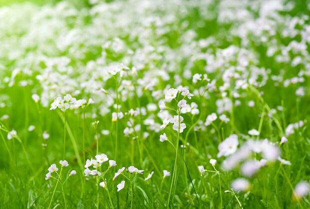 od-essbare-pflanzen-Wiesen Schaumkraut_COLOURBOX1880974.jpg