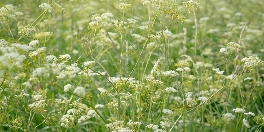 od-essbare-pflanzen-Wiesenkerbel_COLOURBOX14220773.jpg