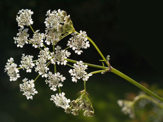 od-essbare-pflanzen-Wiesenkerbel_COLOURBOX1718558.jpg