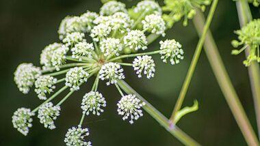 od-essbare-pflanzen-Wilde_Engelwurz_COLOURBOX7992168.jpg