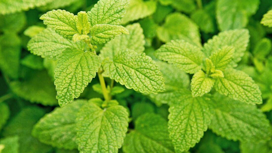 od-essbare-pflanzen-Zitronenmelisse_COLOURBOX10214554.jpg