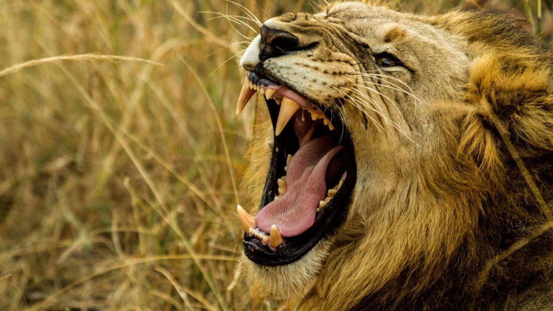 od-loewe-free Löwe lauteste Tiere (jpg)